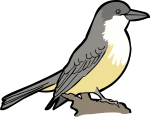 Thick Billed Kingbird freehand drawings