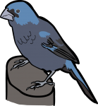 Ultramarine Grosbeak freehand drawings