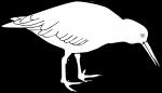 Variable Oystercatcher