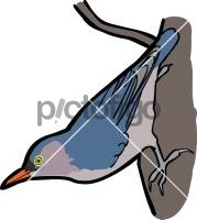 Velvet  fronted NuthatchFreehand Image