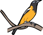 Venezuelan Troupial freehand drawings