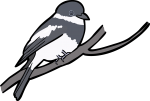Wards Flycatcher freehand drawings