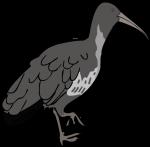 Wattled Ibis freehand drawings