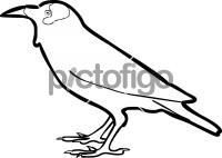 Wattled StarlingFreehand Image