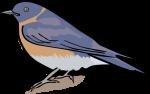 Western Bluebird freehand drawings