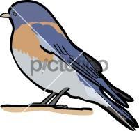 Western BluebirdFreehand Image