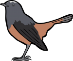 White Capped Redstart freehand drawings