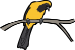 Yellow Backed Oriole freehand drawings