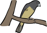 Yellow Bellied Seedeater freehand drawings
