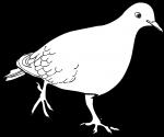 Zenaida Dove freehand drawings