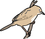 Zitting Cisticola freehand drawings